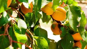 Искане: Новата ОСП трябва да защити правата на българските овощари